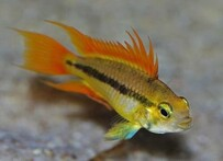 Orange Apistogramma Agassizii Pair